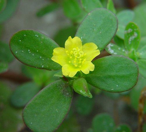 Portulaca_oleracea_flower1